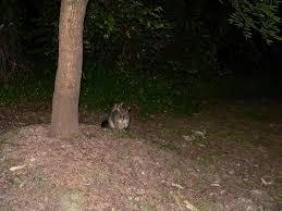 Possum In My Backyard Glidergossip