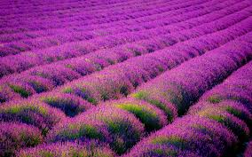 Wallpaper For Home by Lavender Wallpapers High Quality Download Free