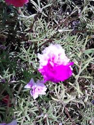 New File:Bella las once o Flor de seda.jpg - Wikimedia Commons #GV97