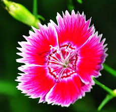 5 pack 250 seed chinese pink seeds dianthus chinensis flower