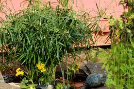 australian native water plants water garden plants best choices for small ponds