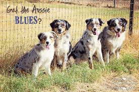 australian shepherd akc mott ranch akc australian shepherd breeder az the devine miss