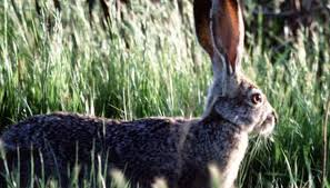 Texas Wild Animals images Types of wild rabbits in texas animals mom me jpg