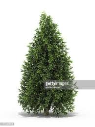 evergreen tree stock photos and pictures getty images