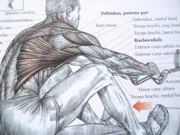 Anatomy Of Human Back Muscles Bodybuilding Back Exercises And Anatomy Youtube