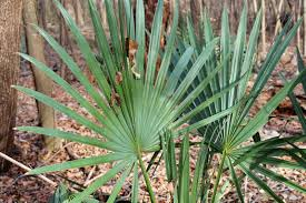 native plants of texas dallas trinity trails the wild palm trees of dallas county