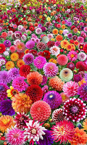 dahlias flowers proudly dahlia start an easy flower to decor your