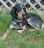 bluetick coonhound dog bluetick coonhounds a guide to dogs and puppies of the bluetick