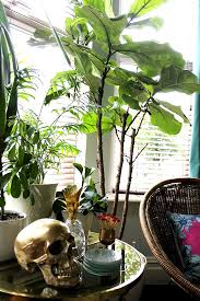 looking for a fiddle leaf fig tree in the uk i ve found them