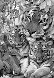 coloring pages of tigers lion tiger puma leopard jaguar coloring pages colouring