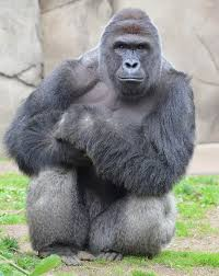 Gorilla Memes - why the internet won t let harambe the gorilla die motherboard