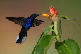 central america birds u2013 ornithology