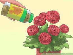 Ranunculus 2 Easy Ways To Plant And Care For A Ranunculus Wikihow