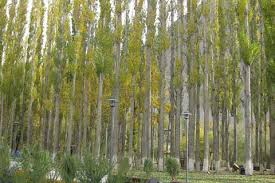 russian poplar species a nuisance high court