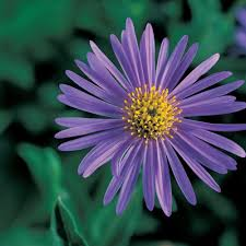 your guide to aster x frikartii sunset