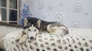 free images boat snout dog breed spitz sled dog siberian