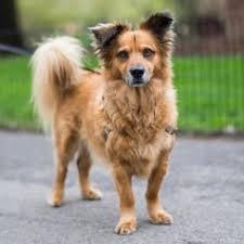 afghan hound breeders new york togo afghan hound 4 m o washington square park new york ny