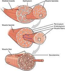 Human Anatomy Pic Muscle Wikipedia