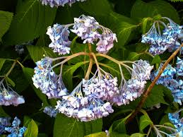 Hydrangea by Droopy Hydrangea Plants U2013 What To Do When Hydrangeas Are Drooping