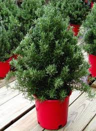 small indoor pine trees norfolk island pine holiday plant basket