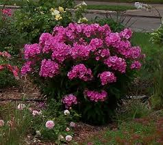 phlox flower phloxes plant care and collection of varieties garden org