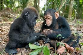 Chimp Meme - gorilla and chimpanzee rebrn com