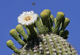 cactus home decor implanted radio chips help park rangers protect precious cactus