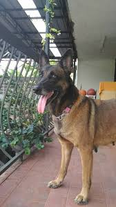 belgian shepherd malaysia belgian shepherd malinois dog for adoption 8 years 10 months