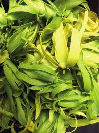 ylang ylang industry in pangasinan eyed inquirer business