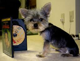 yorkie hair cut chart estimate your puppy s weight and size yorkiepassion com