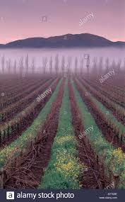 napa valley ground mustard napa valley vineyards in winter with ground fog at showing