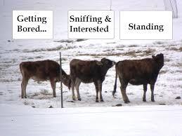 heat detection u0026 a i u2013 spirited rose homestead dairy farm