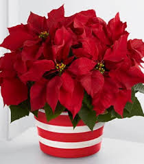 Christmas Flowers Christmas Flower Pictures P 2