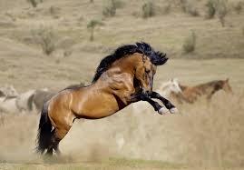 mustangs mating horses mating habits animals me