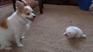 american eskimo dog giving birth pomeranian puppies cute chihuahua pomeranian puppy plays with