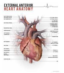 Heart External Anatomy Anatomy U2014 Vernacular Studios