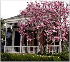 japanese magnolias bloom in jan great of color historic