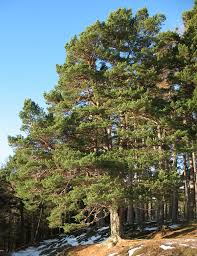 brown tree scots pine