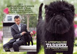 affenpinscher winner the weekly winners gallery from the akc