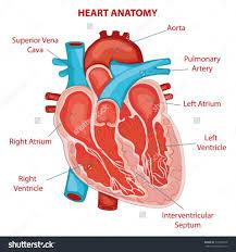 Heart External Anatomy Anatomy Of Left Atrium Choice Image Learn Human Anatomy Image