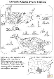 attwater u0027s greater prairie chicken coloring page free printable