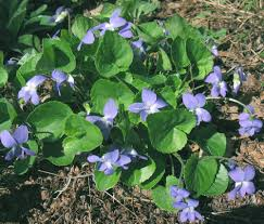 plants native to massachusetts viola sororia woolly blue violet go botany