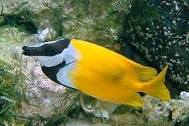 saltwater fish saltwater aquarium fish for marine aquariums