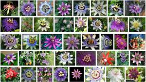 native plants passionflower vine grows passion flower alien looking flower right here on earth