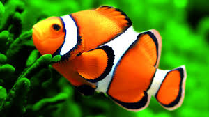 stunning clown fish aquarium u0026 the best relax music 2 hours