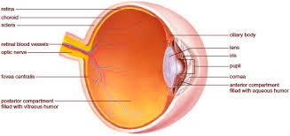 Eye Anatomy And Physiology Anatomy And Physiology Of The Eye Functions Of The Parts Of The Eye