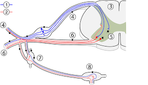 Relex Arc Biobook Leaf How Does A Reflex Arc Work Do They Really Leave