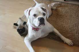 bulldog y boxer joeys legacy boxer rescue dogs needing homes