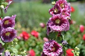 Hollyhock Flowers Beautiful Hollyhock Flowers Photograph By P S