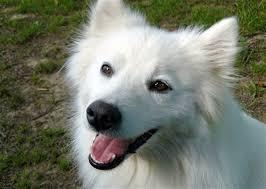 american eskimo dog in india 83 best american eskimo spitz dakota images on pinterest